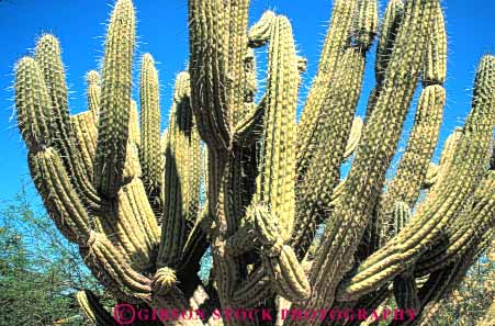 Stock Photo #6377: keywords -  arizona az branch branching cactus desert green horz hurt pain pattern plant poke protect protection sharp spine spiny stab succulent upward