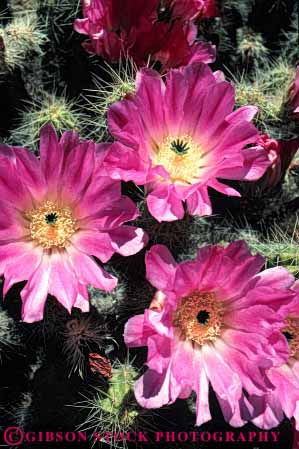 Stock Photo #6379: keywords -  beautiful blossom blossoming cactus circle circular desert flower flowering flowers pink plant pretty purple radial red reproduction round seed seeds succulent symmetrical symmetry three vert wildflower