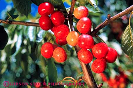 Stock Photo #6384: keywords -  agriculture california cherries cherry circular color colorful crop crops farm farming farms food fruit green grow growing growth horz leaf leaves lush orchard orchards produce red ripe round seed sphere spheres tree wholesome