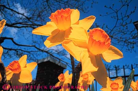 Stock Photo #6388: keywords -  array beautiful bulb close color colorful daffodil flower flowers garden grow growth horz many outdoor outdoors plant pretty sky spring up upward yellow