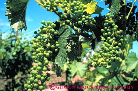 Stock Photo #6396: keywords -  agriculture california cluster crop crops farm farming food fruit grape grapes green horz immature many produce ripe seed seeds vine vineyard