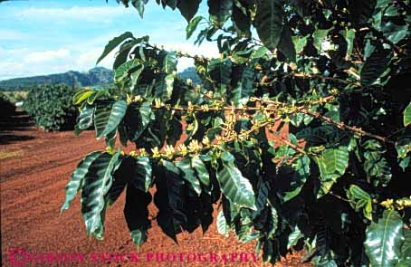 Stock Photo #6415: keywords -  blossom blossoming coffee crop crops cultivate cultivating cultivation farm farming flower flowering grow growing growth hawaii hi horz leaf leaves plant plants