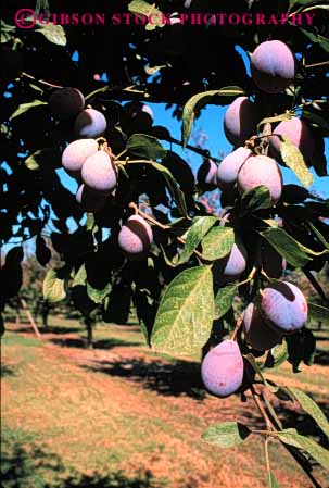 Stock Photo #6421: keywords -  california crop crops cultivate cultivating cultivation farm farming fruit grow growing growth hard leaf leaves nut orchard orchards plant plants plum tree trees vert