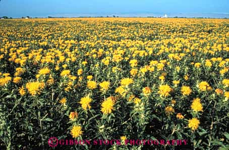 Stock Photo #6428: keywords -  agriculture blossom blossoming california crop crops cultivate cultivated cultivating cultivation farm farming farms field flower flowering flowers grow growth horz plant plants safflower yellow young