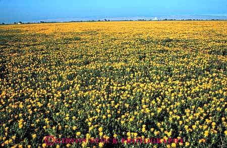 Stock Photo #6429: keywords -  agriculture blossom blossoming california crop crops cultivate cultivated cultivating cultivation farm farming farms field flower flowering flowers grow growth horz plant plants safflower yellow young