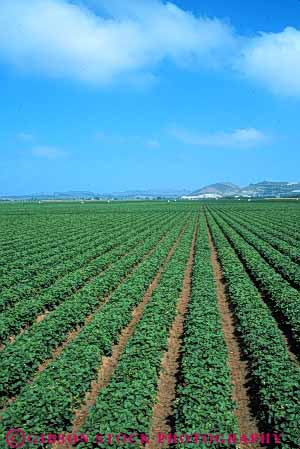 Stock Photo #6434: keywords -  agriculture california crop crops cultivate cultivated cultivating cultivation earth farm farming farms field food fruit green ground grow growth plant plants produce row rows strawberries strawberry vert