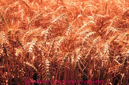Stock Photo #6451: keywords -  agriculture california crop crops cultivate cultivates cultivating cultivation farm farming farms grain grow growing growth horz mature plant plants ripe wheat