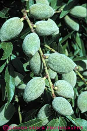 Stock Photo #6463: keywords -  agriculture almond almonds california crop crops nut nuts orchard produce tree vert