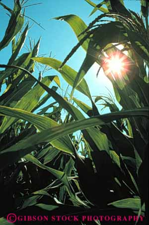 Stock Photo #6478: keywords -  agriculture burst california corn crop crops cultivate cultivated cultivating cultivation farm farming farms food grain green grow growing growth leaf leaves plant row rows sun vegetable vert