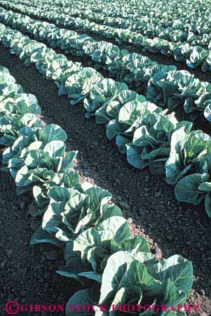 Stock Photo #6500: keywords -  agriculture cabbage carolina cole crop crops cultivate cultivated cultivating cultivation farm farming farms field food green grow growing growth north plant plants produce row rows vegetable vert