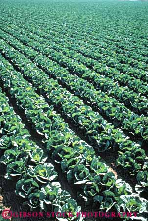Stock Photo #6501: keywords -  agriculture cabbage california cole crop crops cultivate cultivated cultivating cultivation farm farming farms field food green grow growing growth pattern plant plants produce row rows vegetable vert