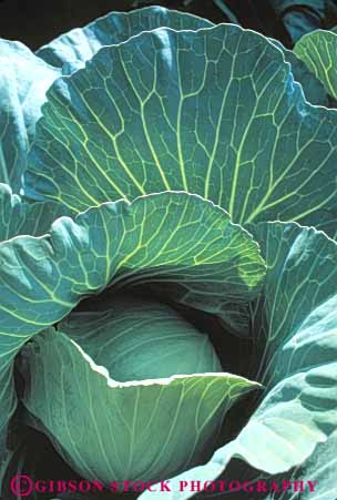 Stock Photo #6502: keywords -  agriculture cabbage carolina cole crop crops cultivate cultivated cultivating cultivation farm farming farms field food green grow growing growth head north plant plants produce row rows vegetable vert
