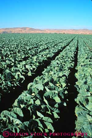Stock Photo #6503: keywords -  agriculture cabbage california cole crop crops cultivate cultivated cultivating cultivation farm farming farms field food green grow growing growth plant plants produce row rows vegetable vert