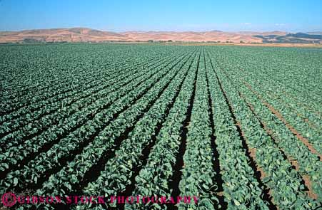 Stock Photo #6507: keywords -  agriculture cabbage california cole crop crops cultivate cultivated cultivating cultivation farm farming farms field food green grow growing growth horz plant plants produce row rows vegetable