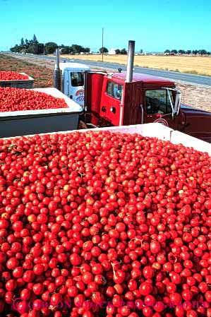 Stock Photo #6509: keywords -  agriculture california crop crops cultivate cultivated cultivating cultivation farm farming farms food grow growing grown growth harvest harvested harvesting load lots many mature plant plants processing produce red ripe tomato tomatoe tomatoes transportation truck trucking vegetable vert