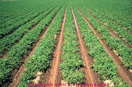 Stock Photo #6517: keywords -  agriculture california crop crops cultivate cultivated cultivating cultivation farm farming farms field grow growing grown growth horz plant plants produce row rows tomato tomatoe tomatoes vegetable