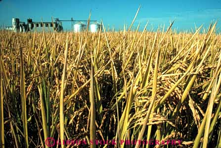 Stock Photo #6535: keywords -  agriculture california crop crops cultivate cultivated cultivating cultivation farm farming farms field flood food grain grow growing grown growth horz irrigation mature plant plants rice ripe water