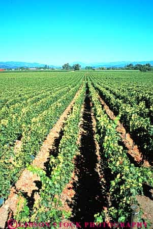 Stock Photo #6552: keywords -  agriculture california crop crops cultivate cultivated cultivating cultivation farm farming farms grape grapes napa plant plants produce row rows vert vine vineyard vineyards