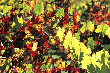 Stock Photo #6569: keywords -  agriculture autumn bright california color crop crops cultivate cultivated cultivating cultivation fall farm farming farms foliage grape grapes horz leaf leaves plant plants produce red translucent translucents transparent vine vineyard vineyards