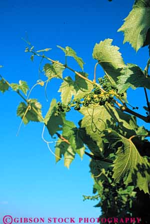 Stock Photo #6572: keywords -  agriculture california crop crops cultivate cultivated cultivating cultivation developing farm farming farms grape grapes green grow growing growth immature plant plants produce vert vine vineyard vineyards young