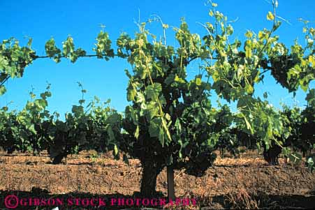 Stock Photo #6573: keywords -  agriculture california crop crops cultivate cultivated cultivating cultivation develop developing farm farming farms grape grapes green grow growing growth horz immature plant plants produce vine vineyard vineyards young