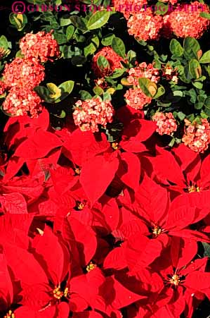 Stock Photo #6580: keywords -  celebrate celebrated celebrating celebration christmas color colorful garden holiday in leaf leaves plant plants poinsettia red vert