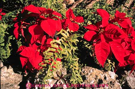 Stock Photo #6584: keywords -  celebrate celebrated celebrating celebration christmas color colorful garden holiday horz in leaf leaves plant plants poinsettia red