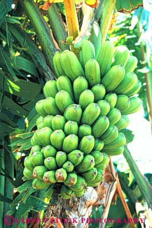 Stock Photo #6611: keywords -  agriculture banana bananas bunch cluster crop crops food fruit green immature lots many produce seed seeds tree tropical unripe vert young