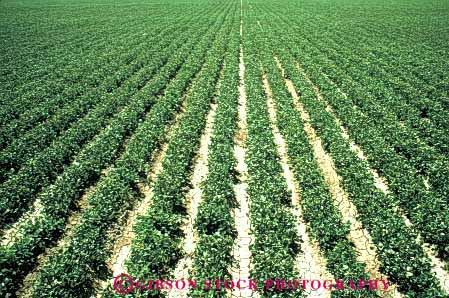 Stock Photo #6615: keywords -  agriculture bean beans california crop crops cultivate cultivated cultivating cultivation farm farming farms field grow growing growth horz legume legumes plant plants row rows vine vines