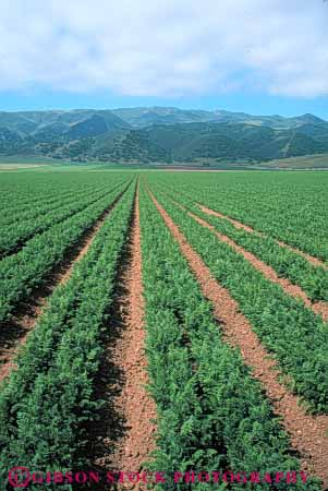 Stock Photo #6626: keywords -  agriculture california carrot carrots crop crops cultivate cultivated cultivating cultivation food green grow growing growth plant produce row rows vegetable vegetables vert