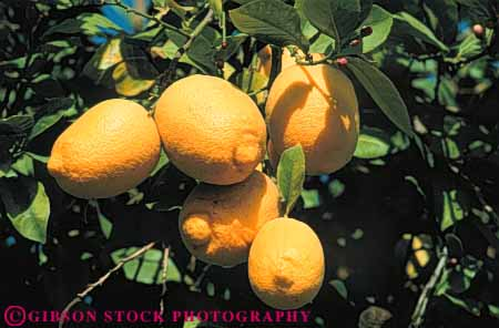 Stock Photo #6633: keywords -  agriculture citrus crop crops farm farming farms food fruit fruits grow growing grown growth horz lemon lemons orchard orchards produce ripe tree trees yellow
