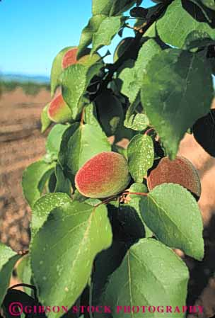 Stock Photo #6646: keywords -  agriculture california crop crops cultivate cultivating cultivation develop developing development farm farming farms food fruit green grow growing growth hard immature nut orchard orchards peach peaches plant plants tree vert