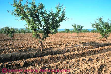 Stock Photo #6652: keywords -  agriculture california crop crops cultivate cultivating cultivation develop developing development dirt earth field food fruit ground grow growing growth hard horz immature nut orchard orchards peach plant plants row rows soil trees