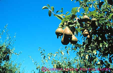 Stock Photo #6657: keywords -  agriculture crop crops cultivate cultivating cultivation develop developing development farm farming farms food fruit grow growing growth horz immature organic pear pears plant plants trees