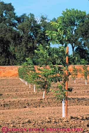 Stock Photo #6684: keywords -  agriculture california develop developing development dirt earth farm farming farms field grow growing growth immature nut nuts orchard orchards plant planted plants row rows soil tree trees vert walnut walnuts young