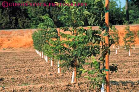 Stock Photo #6690: keywords -  agriculture california develop developing development dirt earth farm farming farms field grow growing growth horz immature nut nuts orchard orchards plant planted plants row rows soil tree trees walnut walnuts young