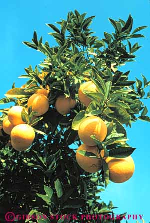Stock Photo #6698: keywords -  agriculture bunch california circle circular citrus cluster crop crops develop developing development farm farming farms food fruit grapefruit grapefruits grow growing growth orchard orchards produce ripe round sphere spheres spherical tree trees vert yellow