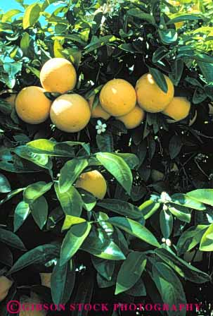 Stock Photo #6699: keywords -  agriculture bunch california circle circular citrus cluster crop crops develop developing development farm farming farms food fruit grapefruit grapefruits grow growing growth orchard orchards produce ripe round sphere spheres spherical tree trees vert yellow