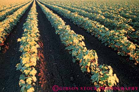 Stock Photo #6707: keywords -  agriculture california cotton crop crops cultivate cultivation develop developed developing farm farming farms field grow growing growth horz immature pattern plant plants row rows young