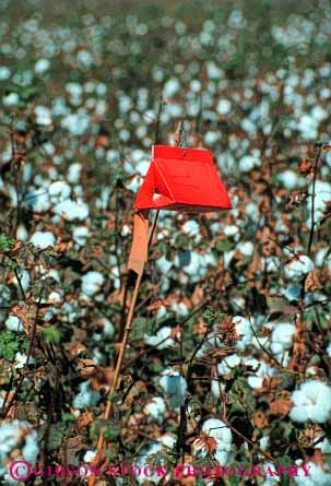 Stock Photo #6724: keywords -  agriculture california catch cotton crop crops detect detection farm farming farms field insect insects pest pesticide plant protect protecting protection protects trap trapped trapping vert