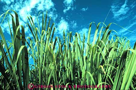 Stock Photo #6735: keywords -  agriculture cane crop crops cultivate cultivated cultivating farm farming farms green grow growing grown growth hawaii horz leaf leaves produce sugar tropical vegetable vegetables