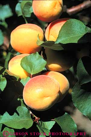 Stock Photo #6739: keywords -  agriculture apricots bunch california cluster crop crops cultivate cultivated cultivating develop developing development farm farming farms fruit fruits grow growing grown growth hard hardnut immature nut orange orchard orchards produce tree vert young