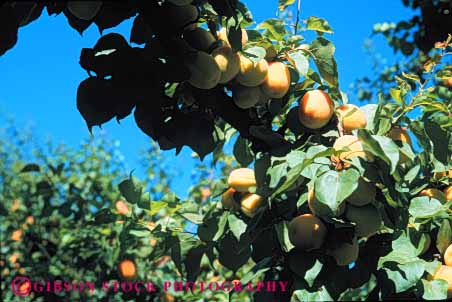 Stock Photo #6740: keywords -  agriculture apricots bunch california cluster crop crops cultivate cultivated cultivating develop developing development farm farming farms fruit fruits grow growing grown growth hard hardnut horz immature nut orange orchard orchards produce tree young