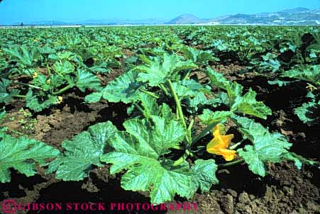 Stock Photo #6761: keywords -  agriculture california crop crops cultivate cultivated cultivating farm farming farms food gourd horz plant plants produce vegetable vegetables zucchini