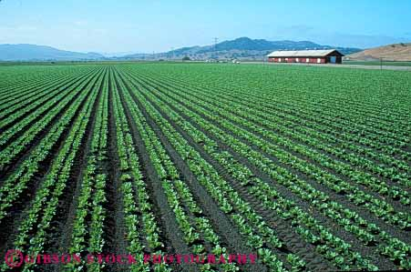 Stock Photo #6764: keywords -  agriculture california crop crops cultivate cultivating cultivation farm farming farms field food green grow growing growth head heads horz leaf leaves lettuce linear pattern plant plants row rows vegetable vegetables