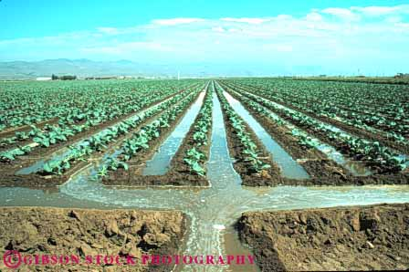 Stock Photo #6775: keywords -  agriculture broccoli california canal channel cole crop crops cultivate cultivated cultivating cultivation develop developing dirt earth farm farming flow flowing food gravity grow growing growth horz immature irrigate irrigated irrigating irrigation plant plants soil trench trough vegetable vegetables water young