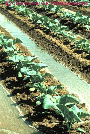 Stock Photo #6778: keywords -  agriculture broccoli california cole crop crops cultivate cultivated cultivating cultivation develop developed developing dirt earth farm farming food grow growing growth immature irrigate irrigated irrigating irrigation plant plants row rows soil vegetable vegetables vert