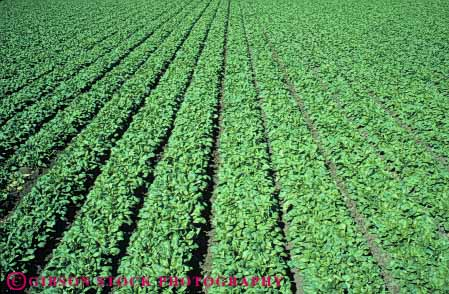 Stock Photo #6780: keywords -  agriculture california crop crops cultivate cultivated cultivating cultivation develop developed developing farm farming field food green grow growing growth horz leaf leaves photosynthesis plant plants row rows spinach vegetable vegetables