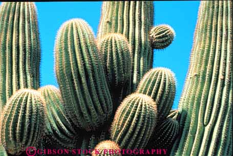 Stock Photo #3467: keywords -  arid arizona bud cactus climate desert deserts dry furrow grow horz hot nature prickly saguaro sharp sonoran spines summer