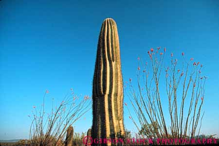 Stock Photo #6822: keywords -  and arid arizona cacti cactus climate desert deserts dry horz hot ocotillo plant plants point pointed points prickly saguaro sharp sonoran southwest spiny succulent succulents west